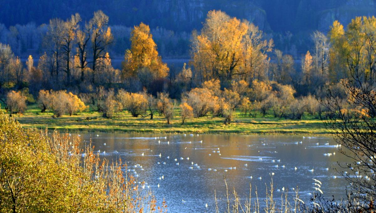Looking across a river dotted with swimming birds at colorful yellow and green trees